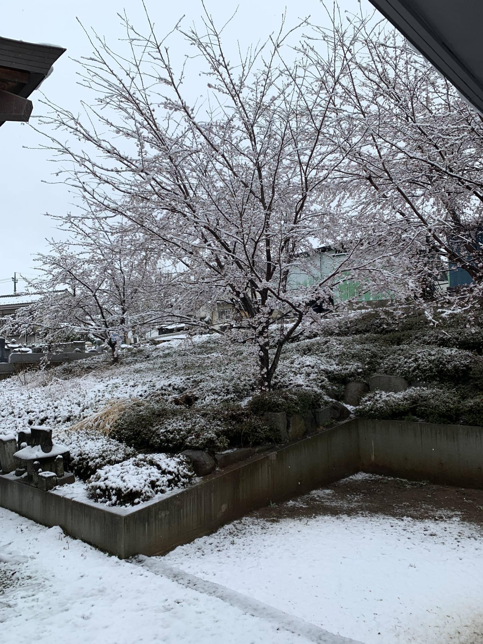 桜と雪 今年最後かな